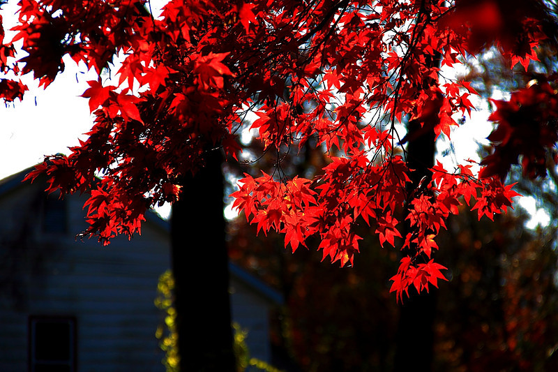 Japanese Maple mid afternoon in NY
