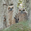 Great Horned Owlets, Savannah National Wildlife Refuge