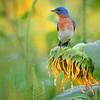 Sunflower Bluebird