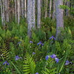 Wild Iris, South Florida