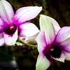 Purple Orchid Pair