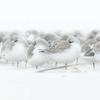 Sanderlings. Harbor Island, SC.