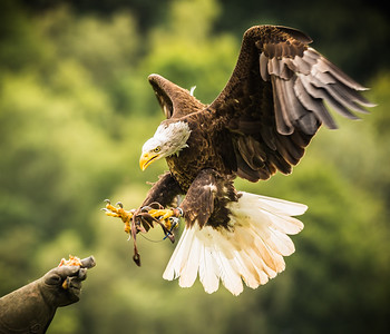 Bold Eagle on the Kill!
