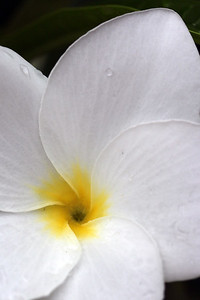 White Plumeria Close up
