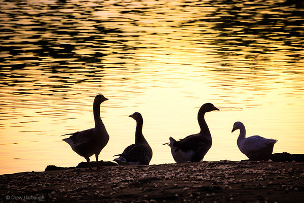 Geese in the Gloaming