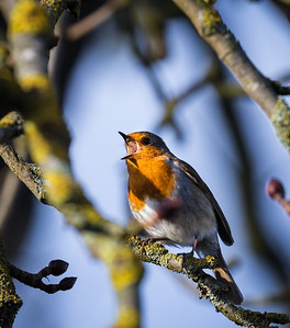 Robin Sings the Blues