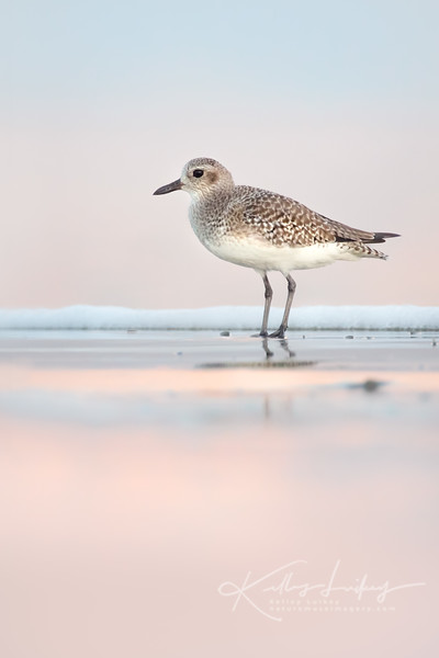 Black-bellied Plover at Dawn