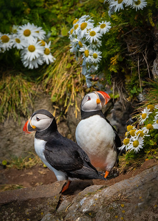 Puffin Pair in the Daisies