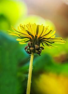 Below a Dandelion