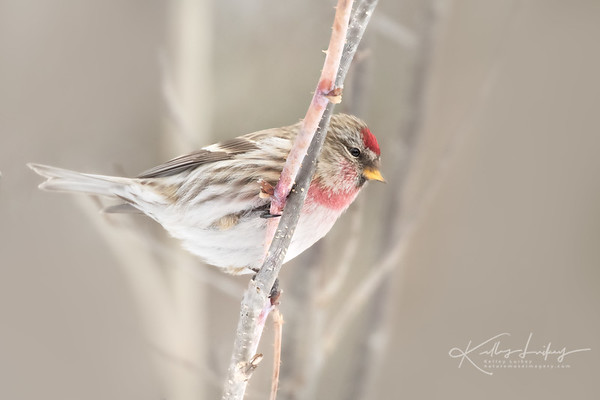 Redpoll Crush