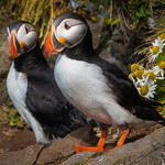 Puffin, West Fjords, Iceland