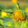 Sunflower Stage