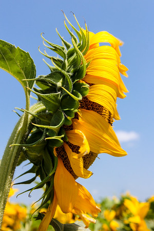 Sunflower profile
