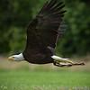 Bold Eagle in Flight