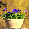 Pansies! In the mid 70's to 80's this week in upstate ny. Everything is in bloom....Weird!