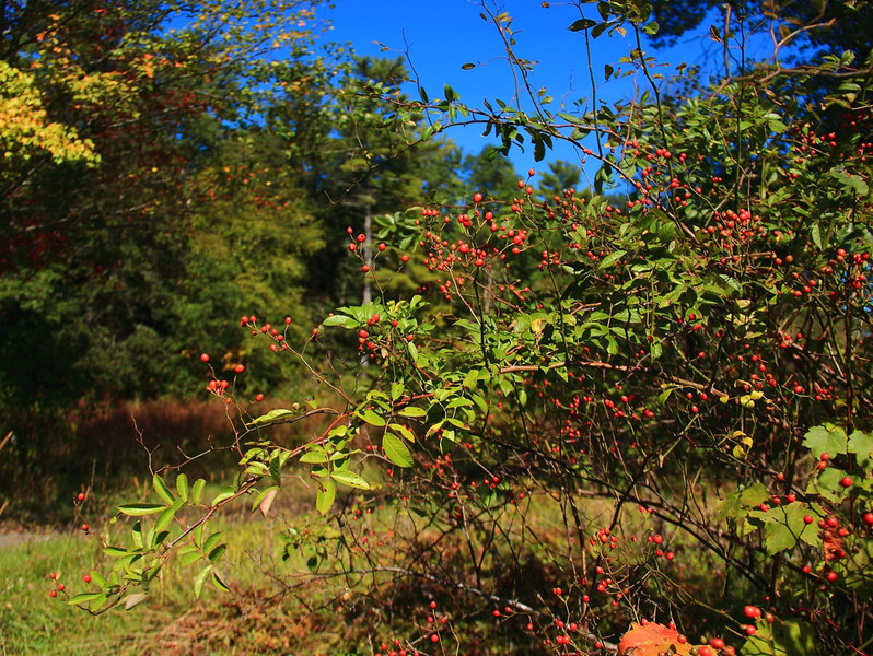 Red berries off the trail to Onteora Lake in West Hurley NY.