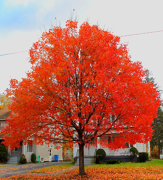 Red Maple in full bloom 11-11-11 in Kingston NY. Best view X2