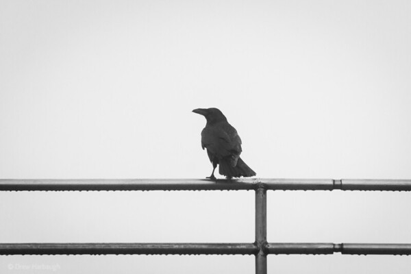 Raven on a Wet Railing