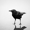 Crow in a Puddle