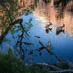 Deer in the Water