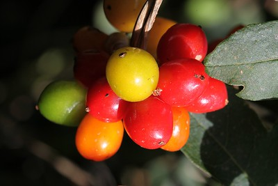 Fruits of Black Bryony (Tamus communis)