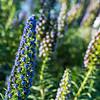 Viper's Bugloss, Pacific Grove