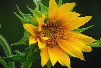 Solitairy Sunflower