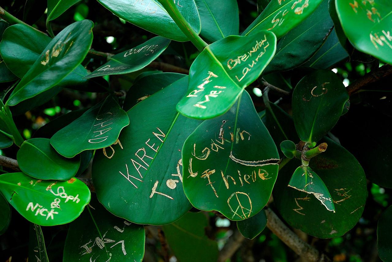 Graffiti Leaves - Sanibel Island FL