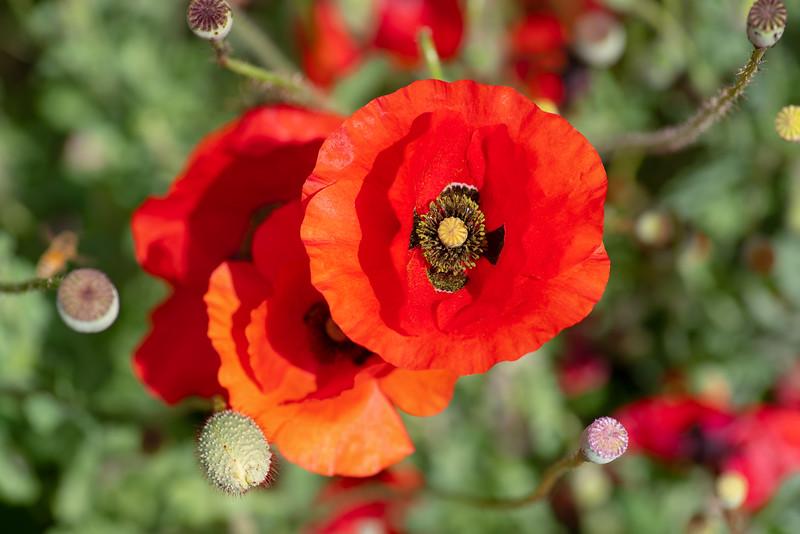 Delicate Poppy