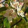 FL020<br /> Crabapple Blossom