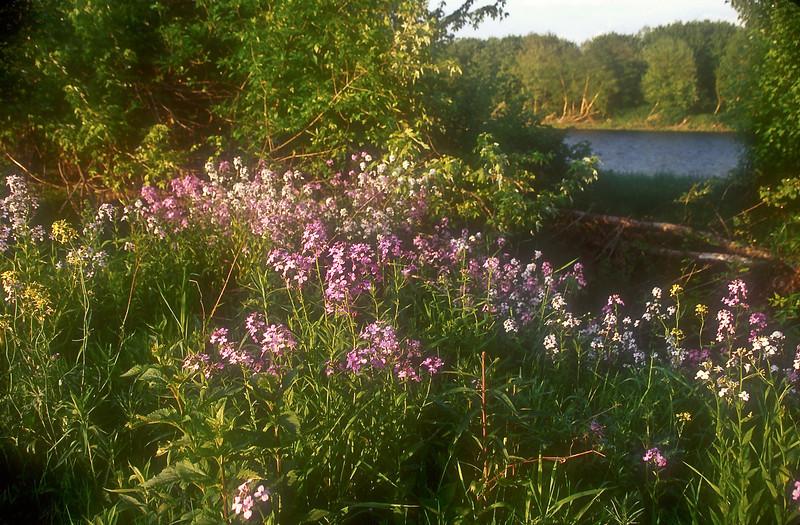 FL021<br /> Wild Phlox Along The Delaware River