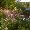 FL021<br /> Wild Phlox Along The Delaware River