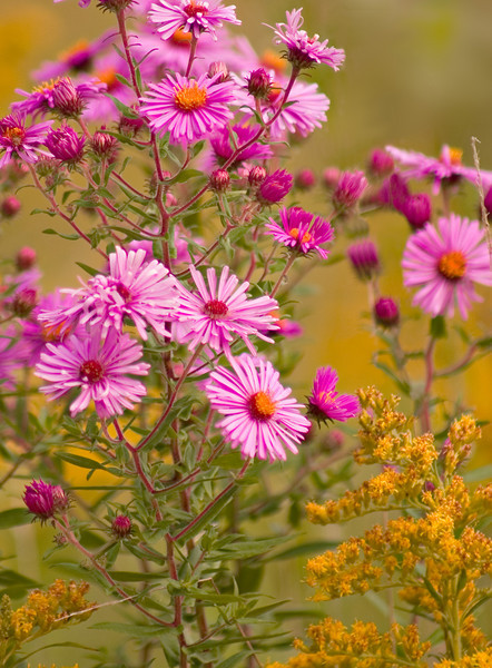 FL005<br /> Goldenrod and Wild Asters