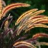 FL002<br /> Backlit Grass