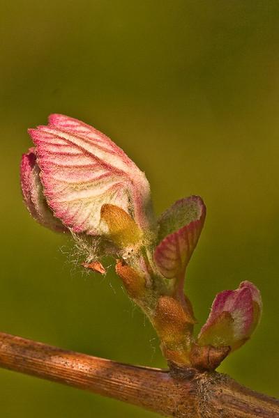 FL015<br /> Emergent Raspberry