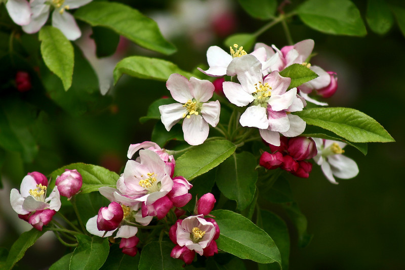 FL009<br /> Apple Blossom Time
