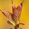 FL012<br /> Emergent<br /> Close up of new cherry leaf photographed a distant background of forsythia