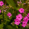 FL014<br /> Phlox Close Up
