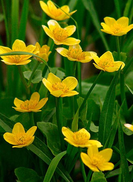 FL017<br /> Marsh Marigolds