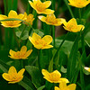 FL017<br /> Marsh Marigolds