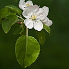 FL022<br /> Macintosh Apple Blossom