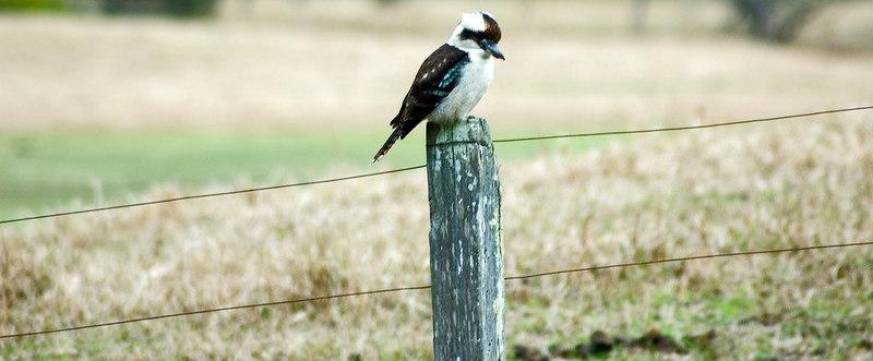 Kookaburra Glenworth Valley, NSW Australia - 21 Jun 2006