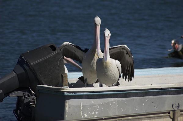 Pelicans Patonga Beach Patonga - NSW Australia - 9 Oct 2005