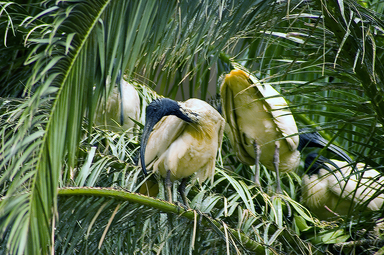 Nesting ibis birds