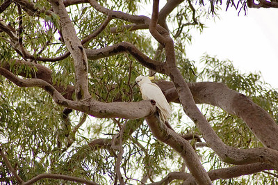 White cuckatoo Kincumber, NSW Australia - 21 Jun 2006