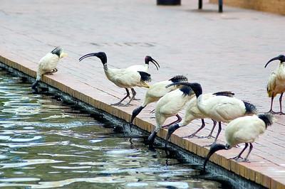 Drinking ibis birds Darling Harbour Sydney - NSW Australia - 7 Oct 2005