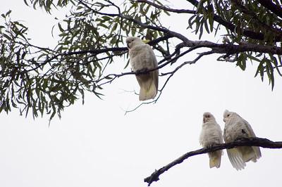 White cuckatoos Kincumber, NSW Australia - 21 Jun 2006