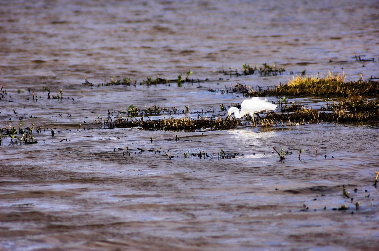 Egret Shortland Wetlands Newcastle, NSW Australia - 28 Sep 2005