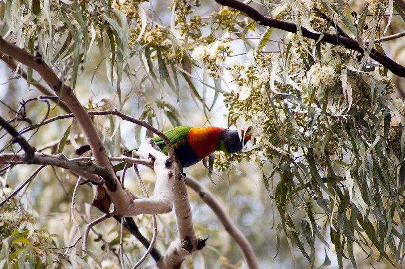 Parrot in gum tree Brooklyn, NSW Australia - 21 Jun 2006