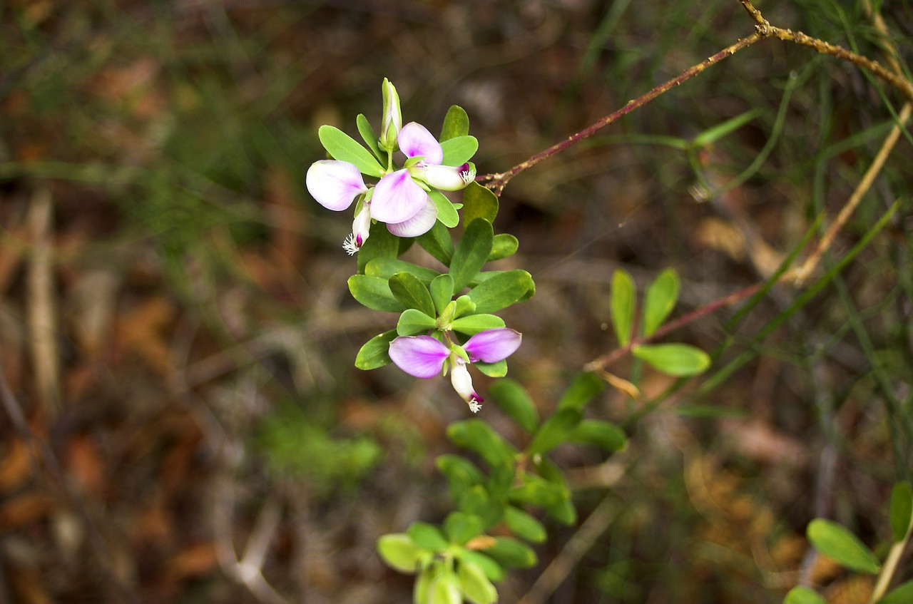 Flora Tomaree Headland Port Stephens - NSW Australia - Sep 2005